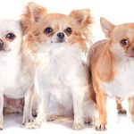 Dierenverzekering voor een Chihuahua