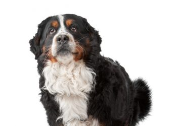 Bernese Mountain Dog standing in front of a white background