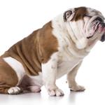Dierenverzekering voor een Engelse Bulldog