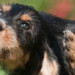 Honden: vaak voorkomende allergieën
