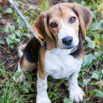 Dierenverzekering voor een beagle