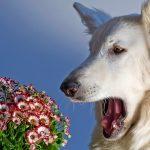 Pollenallergie huisdier